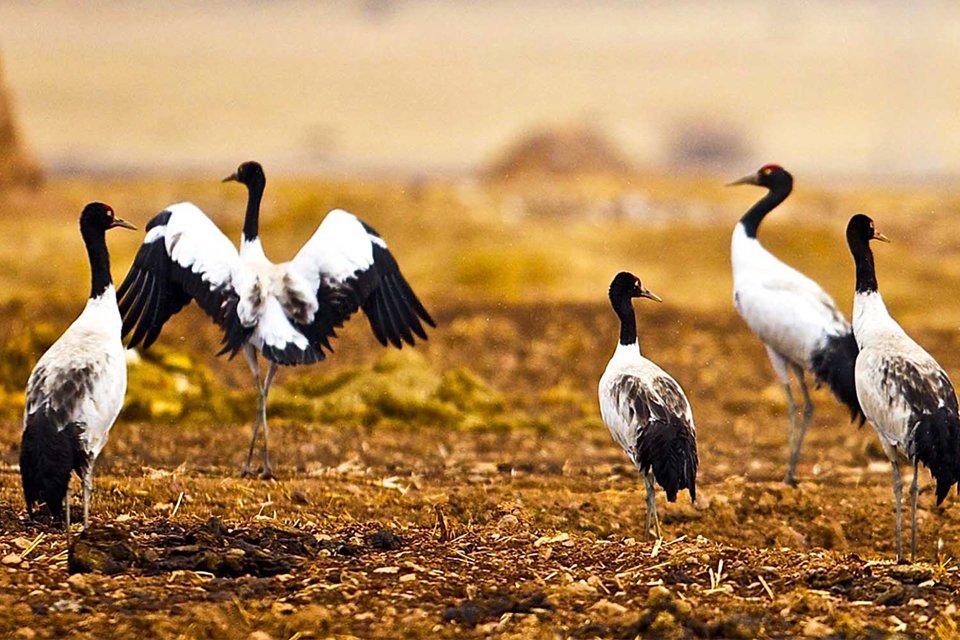 Zwartnekkraanvogels in Phobjikha-vallei