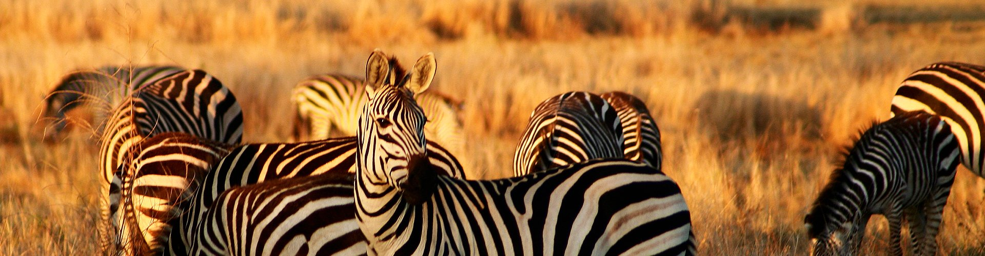 Zebra's Afrika