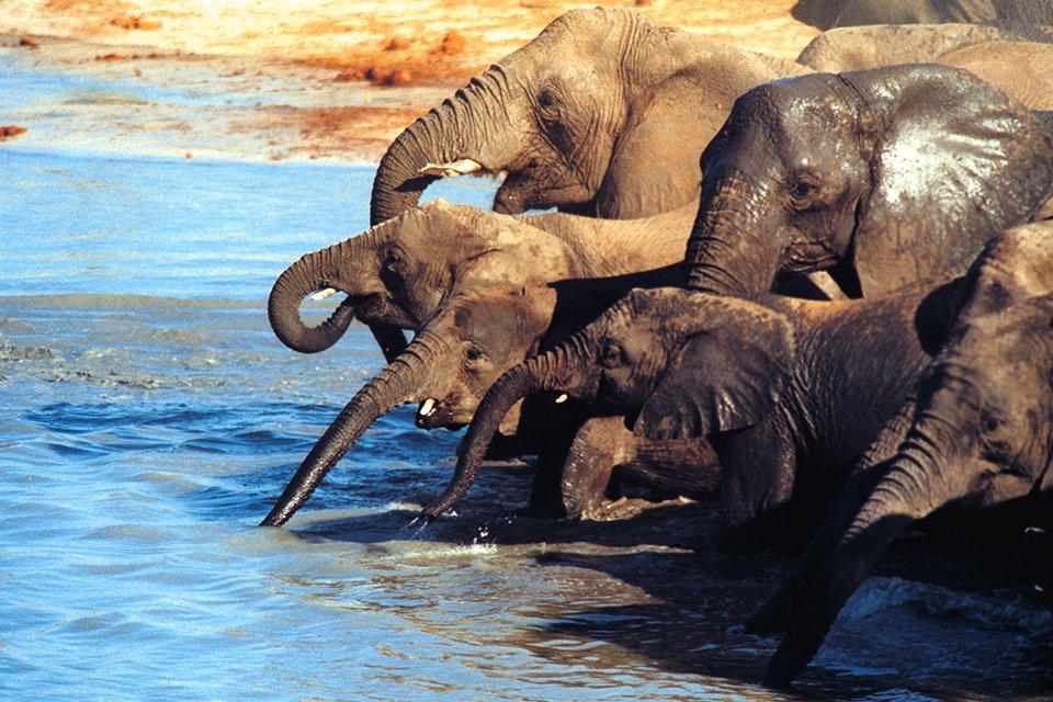 Chobe olifanten, Botswana