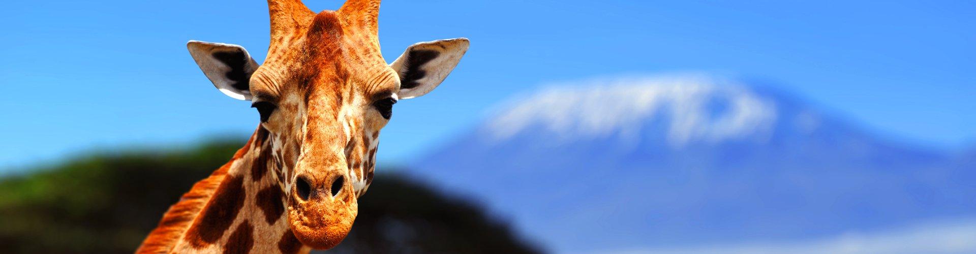 Giraf met op de achtegrond de Kilimanjaro, Kenia