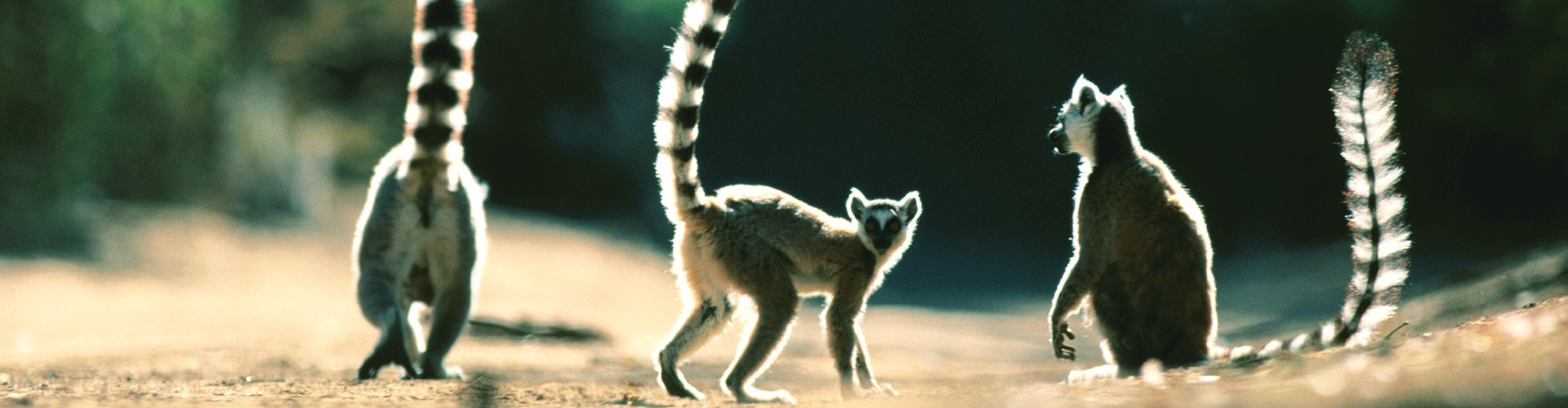 Lemeuren op Madagaskar