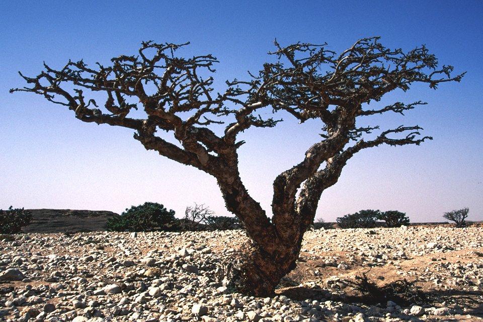 Wierrookboom, Oman