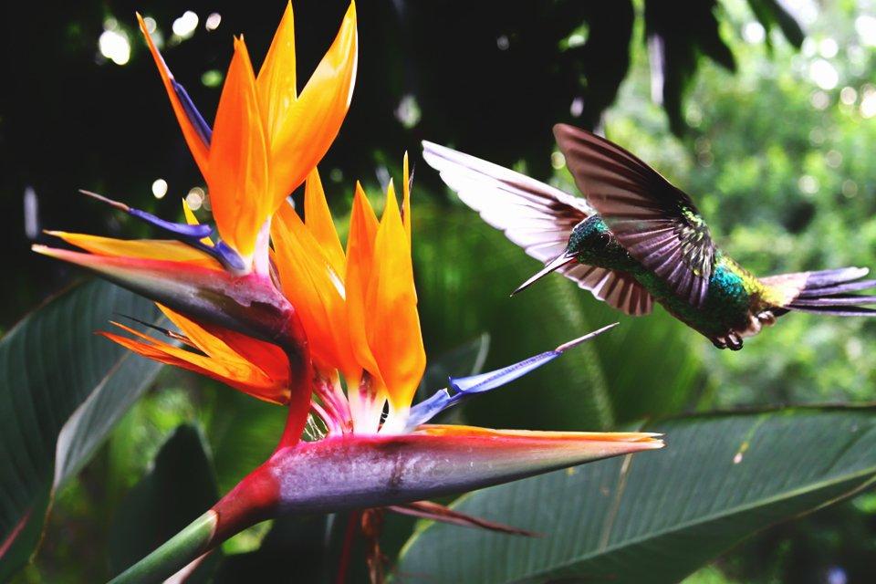 Kolibri bij paradijsbloem, Costa Rica