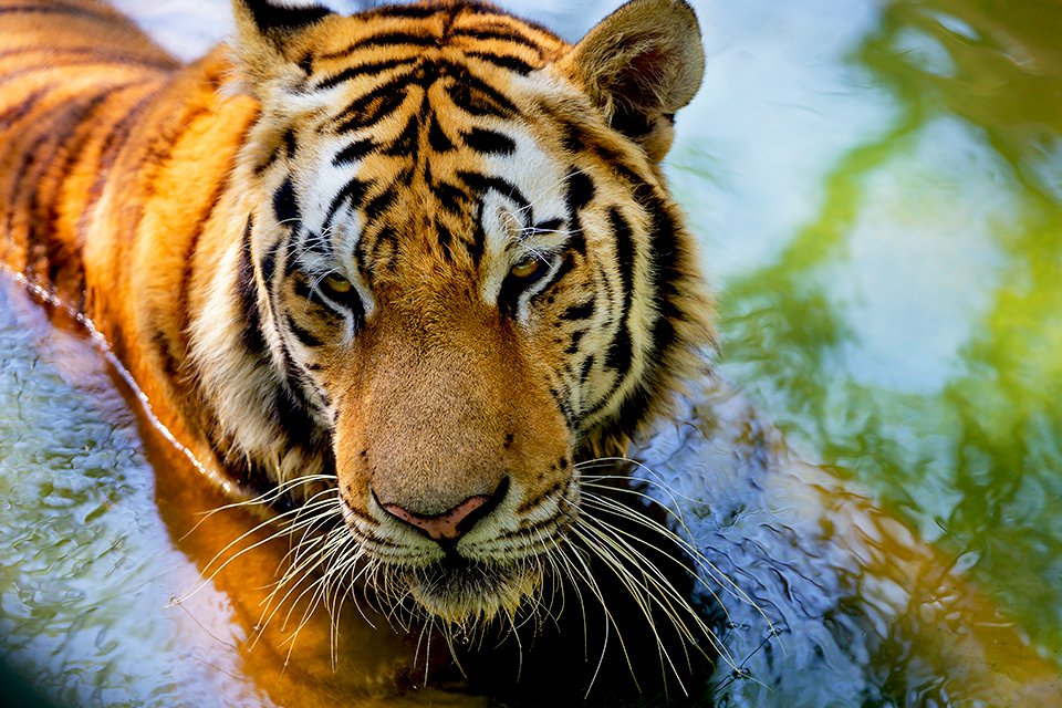 Bengaalse tijger, India