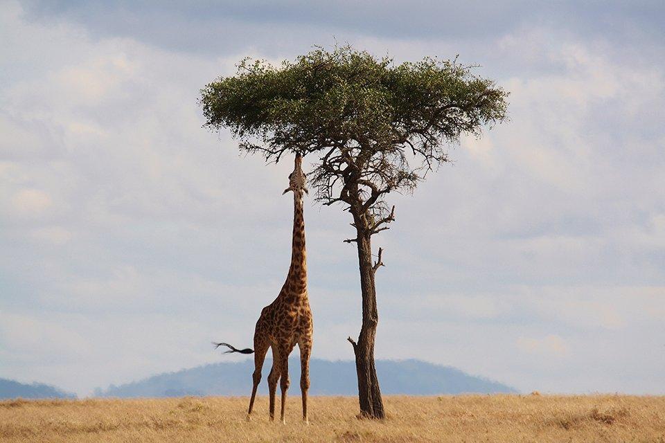 Giraffe, Kenia