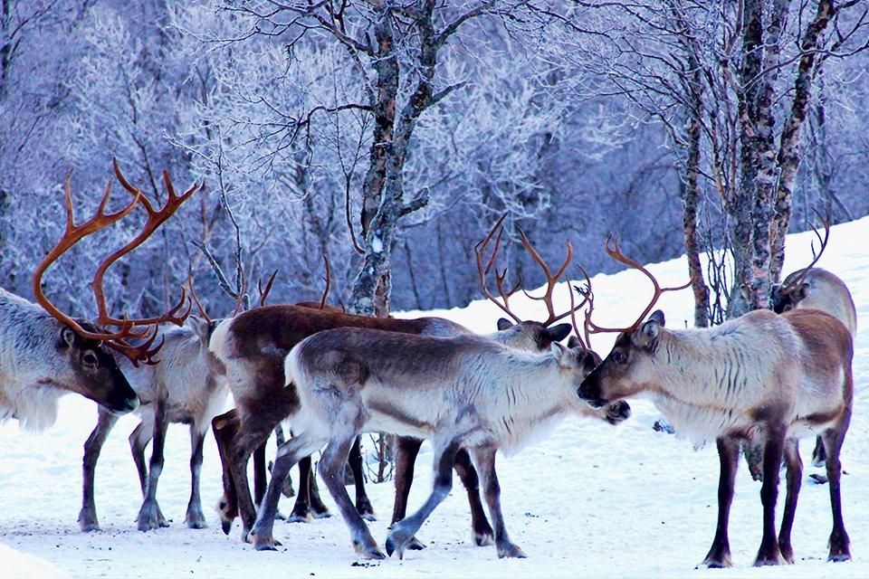 Rendieren, Noorwegen