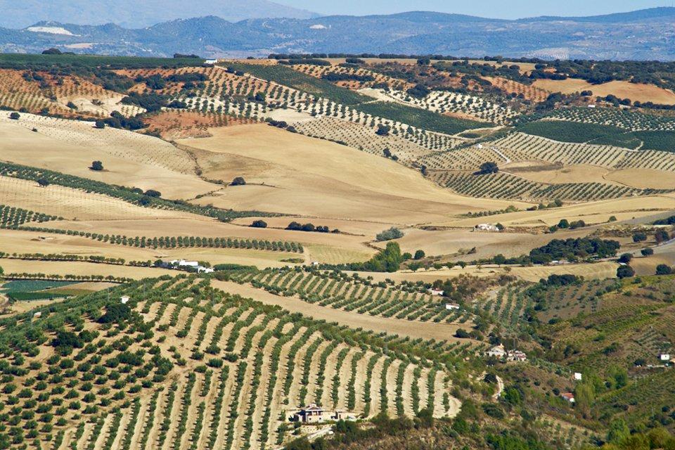 Landschap met olijfbomen in Andalusië, Spanje