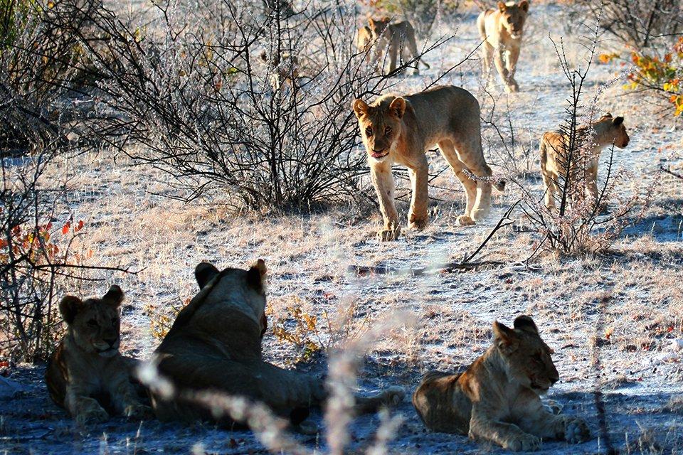 Leeuwen in Etosha N.P.