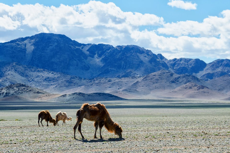 Kamelen, Mongolië