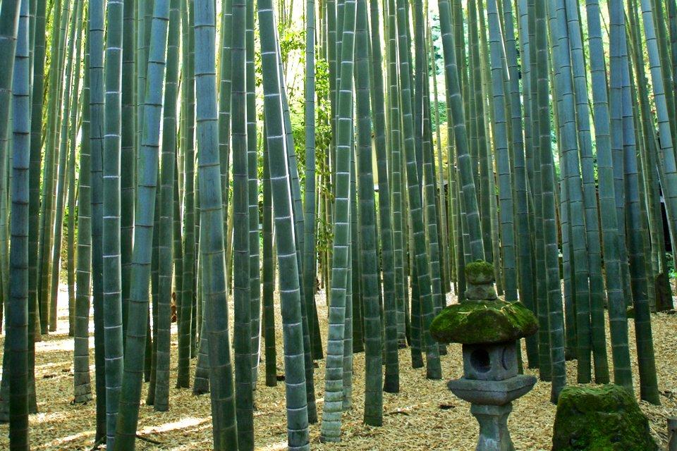 Bamboebos Kyoto, Japan