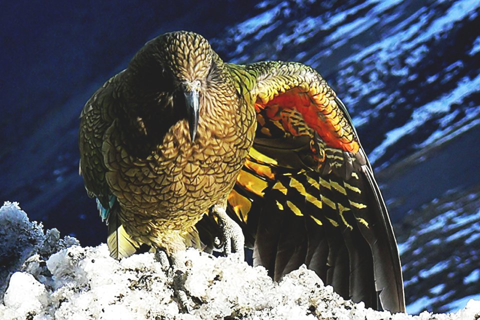 Kea vogel, Nieuw-Zeeland