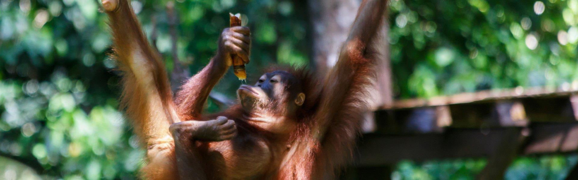 Orang Oetang op Maleisië
