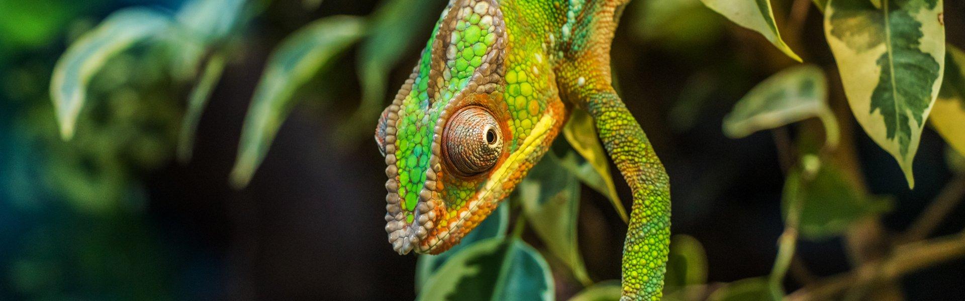 Kameleon op Madagaskar