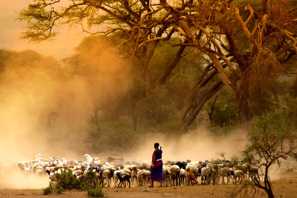 Masai met hun kudde op de savanne, Tanzania