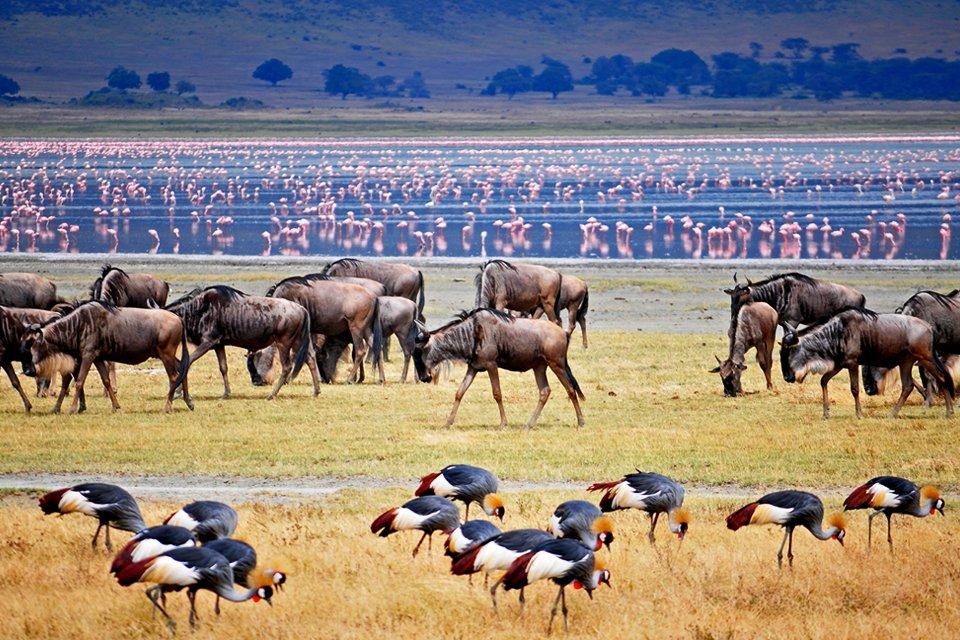 Kudde gnoes en kraanvogels, Tanzania