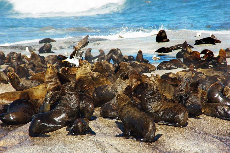 Zeeleeuwenkolonie, Zuid-Afrika
