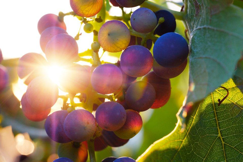 Druiven, Frankrijk