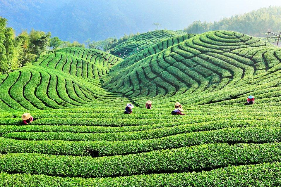Theeplantage, Taiwan
