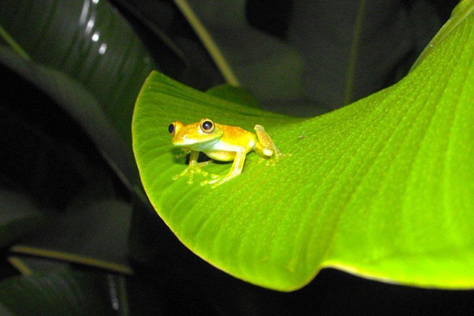 Kikker op de Galapagoseilanden, in Ecuador