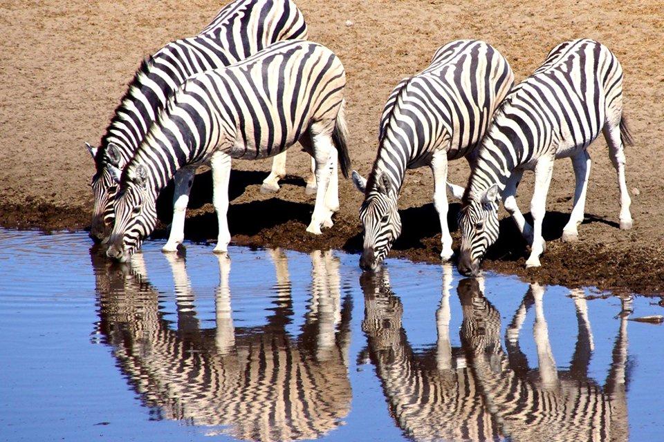 Zebra's in Etosha, Namibië | Foto Peter van de Wiel