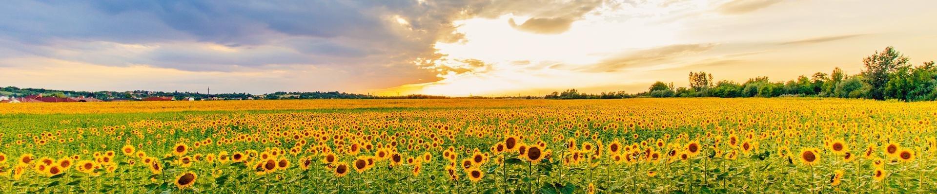 Velden met zonnebloemen, Frankrijk