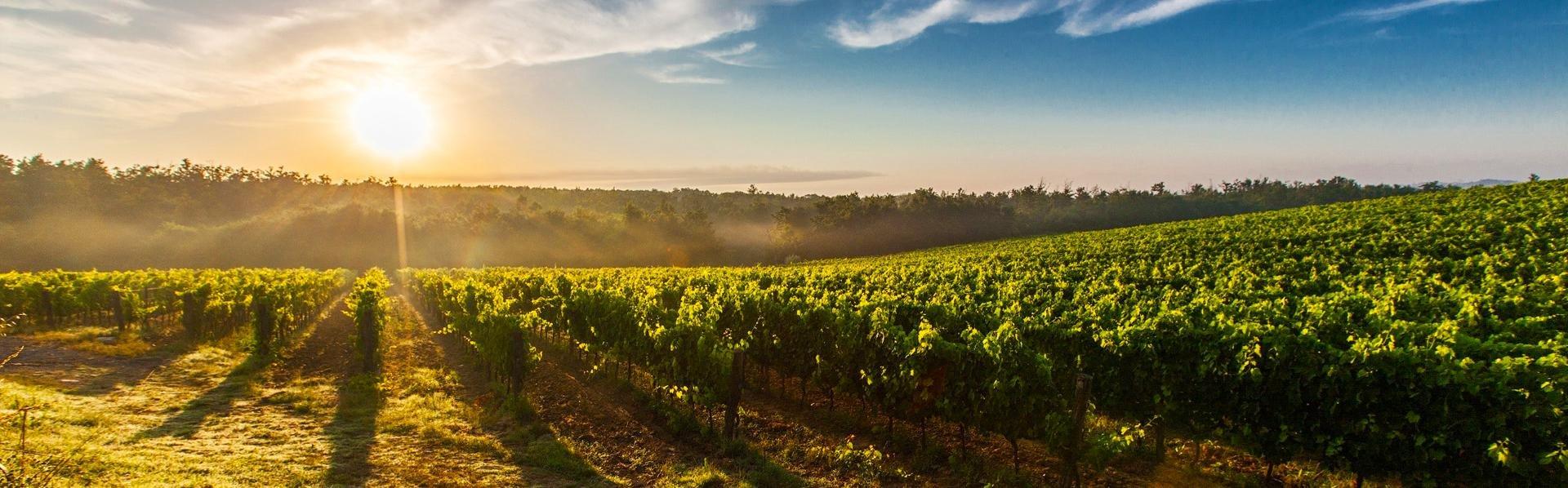 Wijnveld in Piemonte, Italië