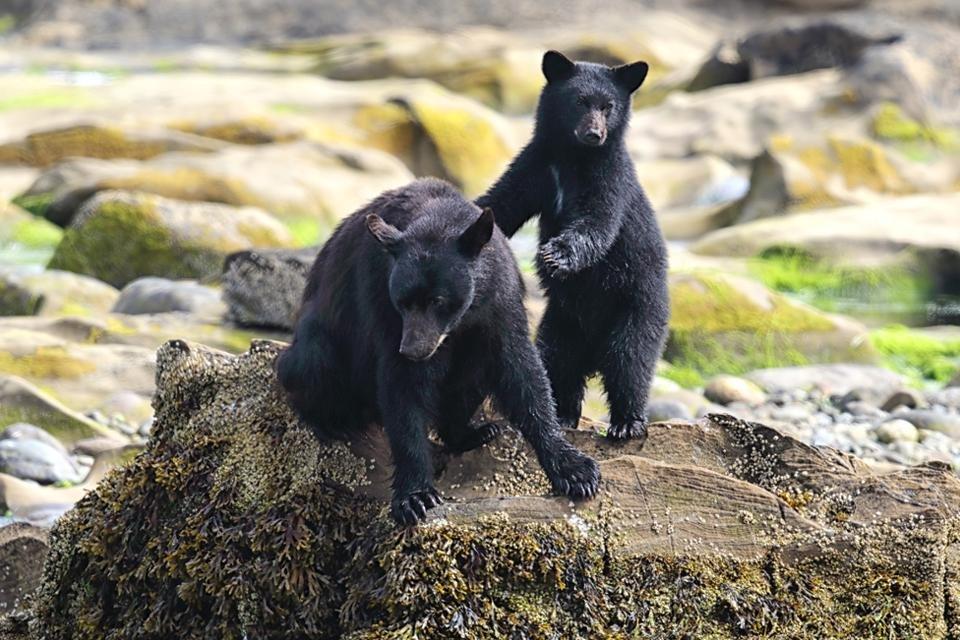 Zwarte beren in Canada