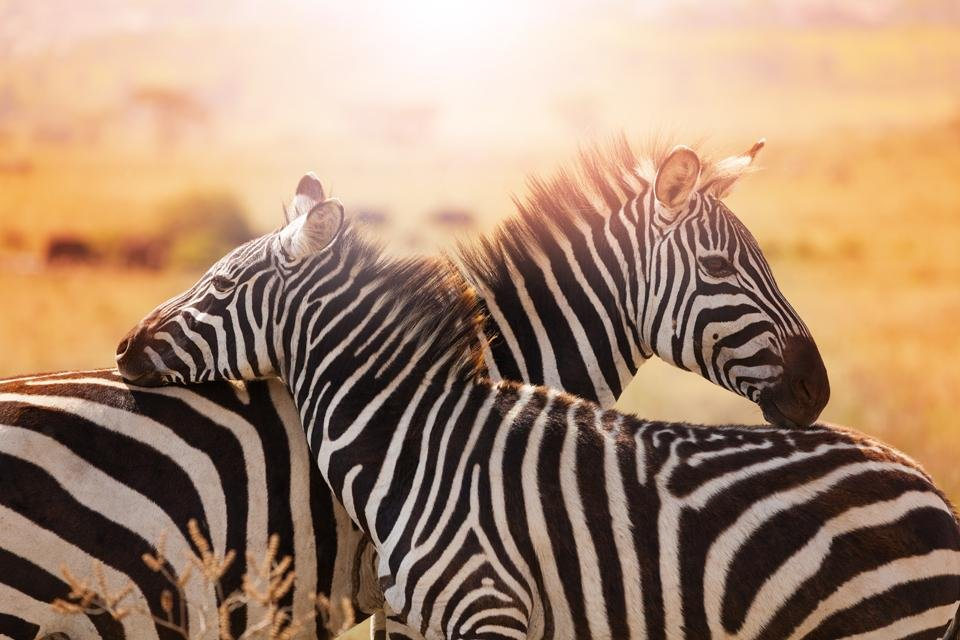Zebra's in Kruger National Park in Zuid-Afrika