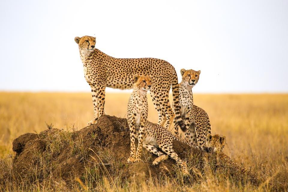 Cheeta's in Serengeti National Park, Tanzania