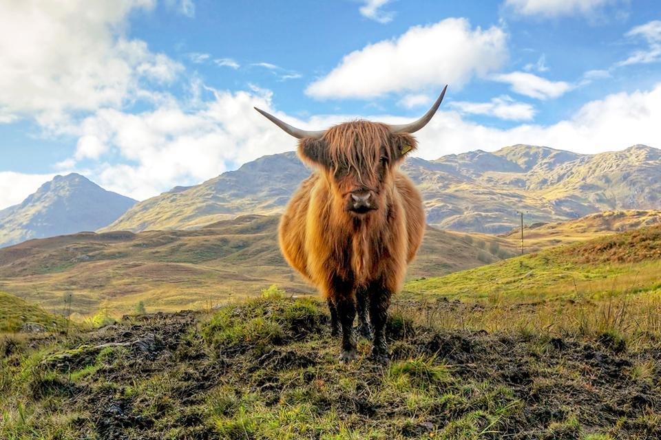 Highland Cow Schotland, Groot-Brittannië