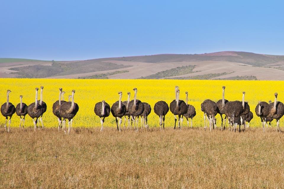 Struisvogels in Oudtshoorn, Zuid-Afrika