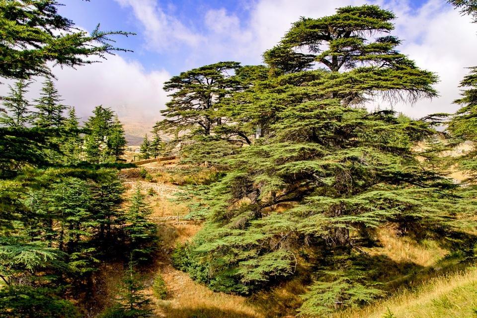 Cederbomen in Libanon