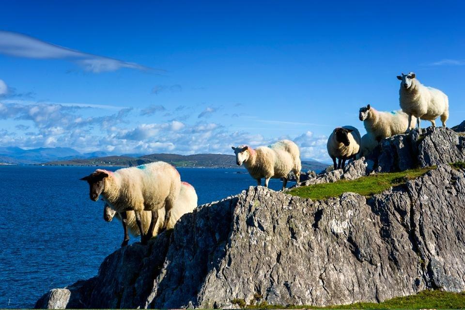 Schapen in County Cork, Ierland