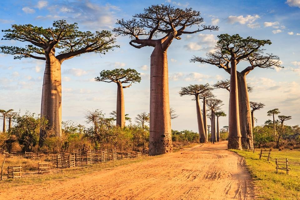 Baobabs in Madagaskar