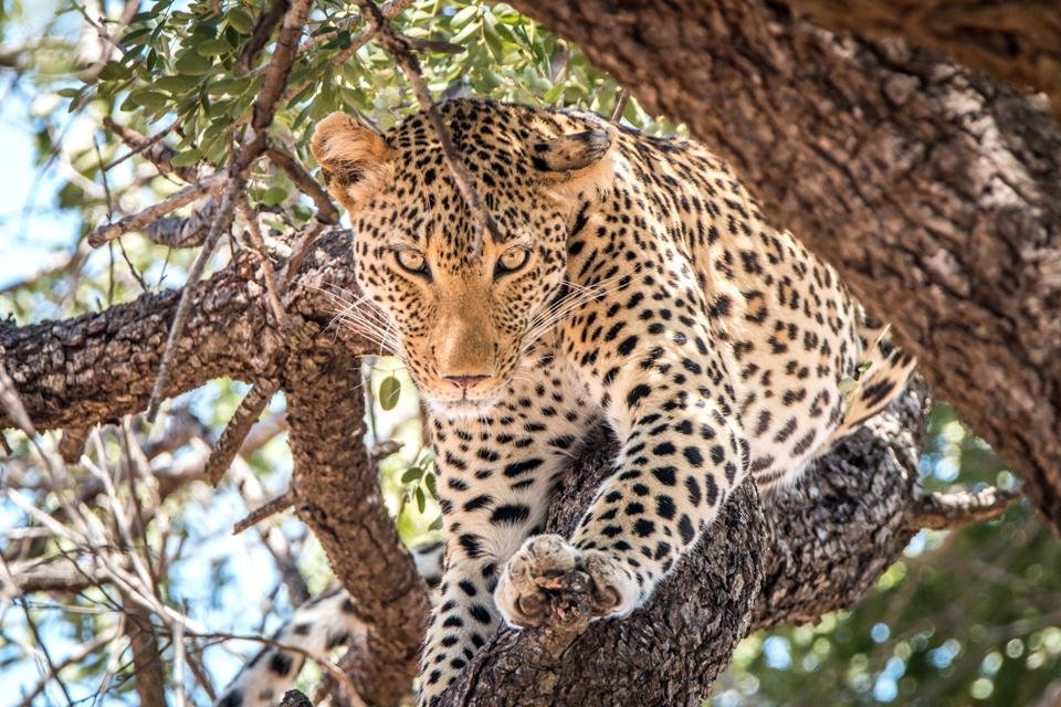 Luipaard in Krugerpark, Zuid-Afrika