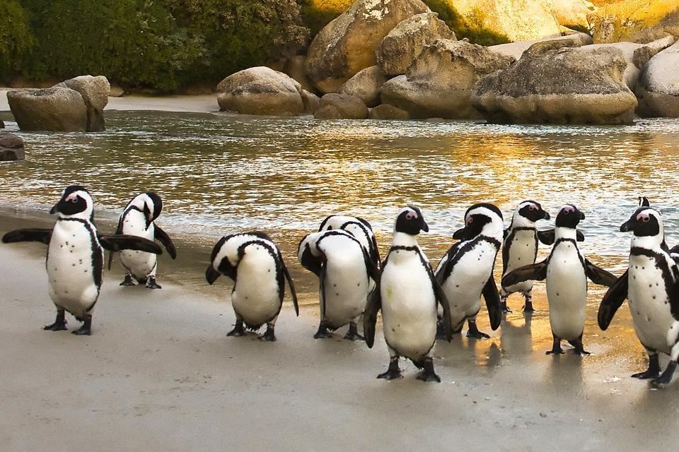 Afrika-Pinguïns bij Simon's Town in Zuid-Afrika